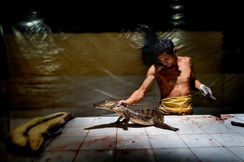 کارگر بریدگی هایی روی پوست تمساح هایی که مشاهده کردید ایجاد میکند. این فرایند حساس در طی چندین مرحله انجام میشود. ابتدا تمساح ها با بریدن گردنشان کشته میشوند.