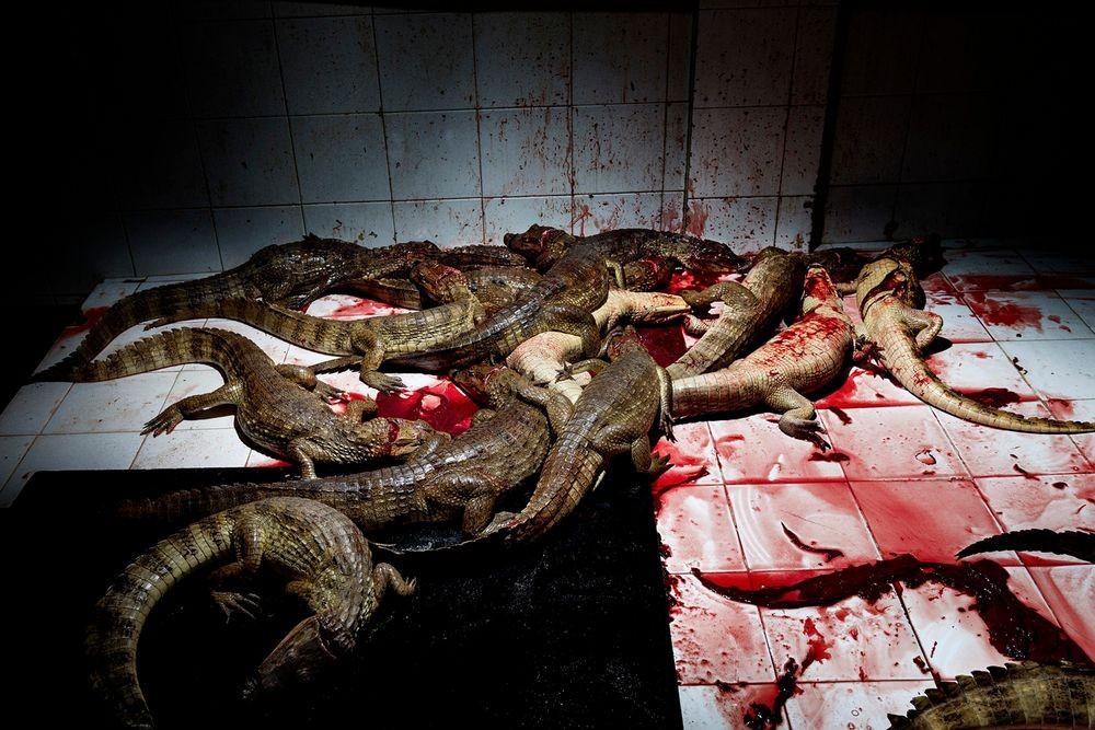 """کلمبیا، دو ساعت از شهر بارانکویلا، این عکس از داخل اتاقی به نام """"اتاق سلاخی"""" گرفته شده. تمساح ها با بریدن گردنشان کشته میشوند. هر برش اثر چاقوی فردی است که تنها کارش بریدن گلوی تمساح هاست."""