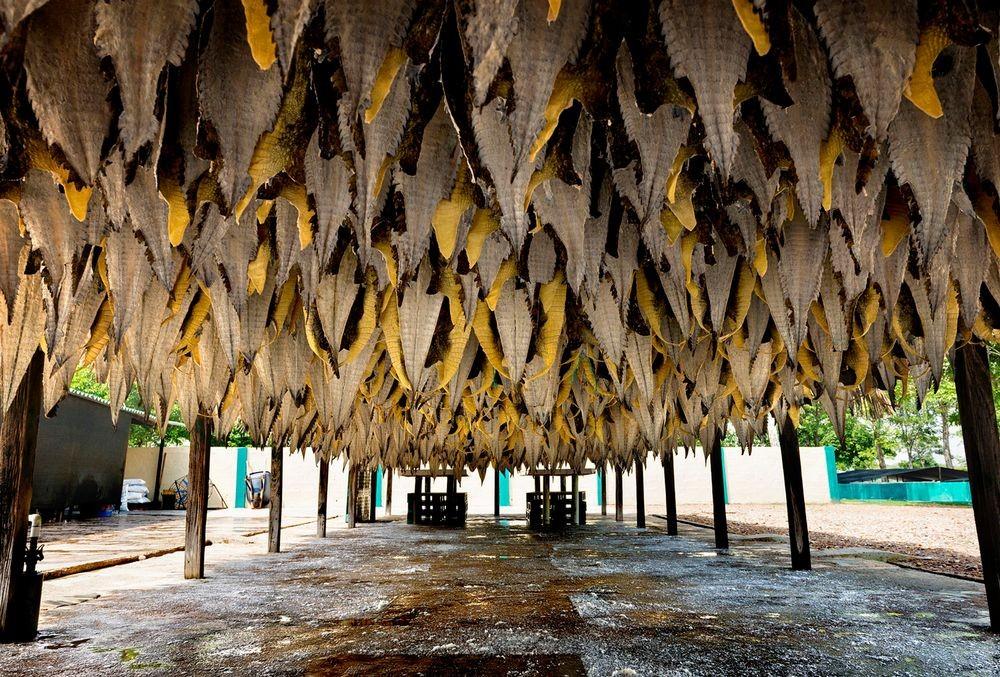 """هزاران پوست تمساح بعد از فرایند شست و شوی اولیه در فضای باز پهن میشوند. پوست گونه """"Repticosta"""" به بازارهای شرقی فرستاده میشود. برای مثال پوست های عکس بالا در نمایشگاهی درسنگاپور به مدت 20 روز به نمایش گذاشته خواهند شد."""
